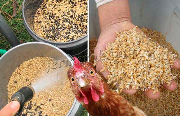Практические аспекты использования в рационе кур пророщенной пшеницы