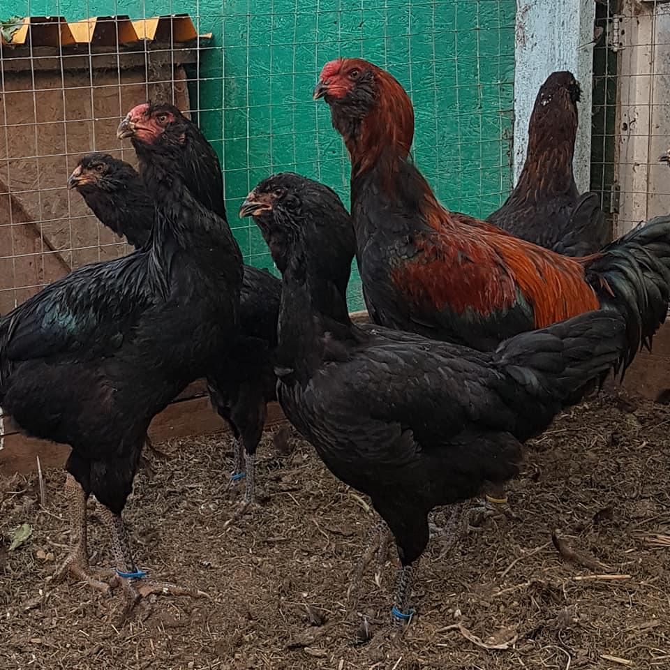 Гилянская порода кур – описание, фото и видео