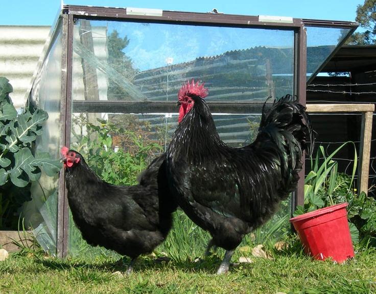 Куры Австралорп – описание черной породы, фото и видео