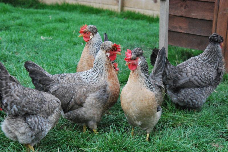 Легбар - мясо-яичная порода кур. Описание, характеристики, выращивание, кормление, болезни