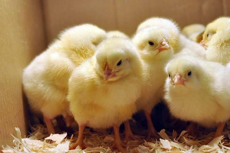 Каких цыплят выбрать для выращивания на мясо и яйцо?