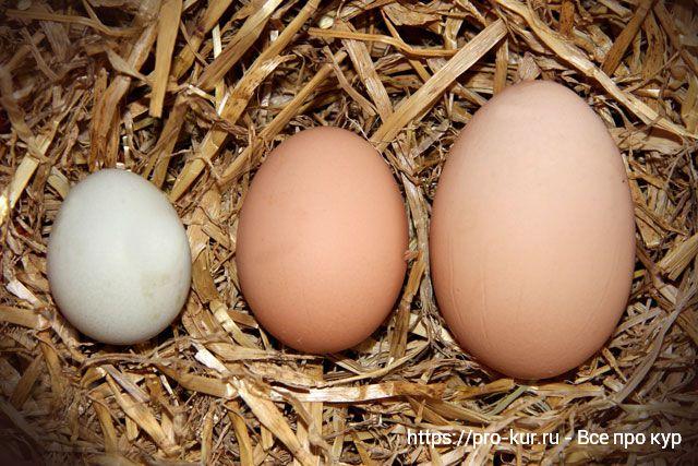 Куры несут мелкие яйца