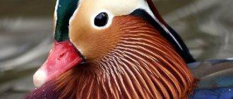 Каковы особенности руанской утки, описание породы с фото, отзывы владельцев