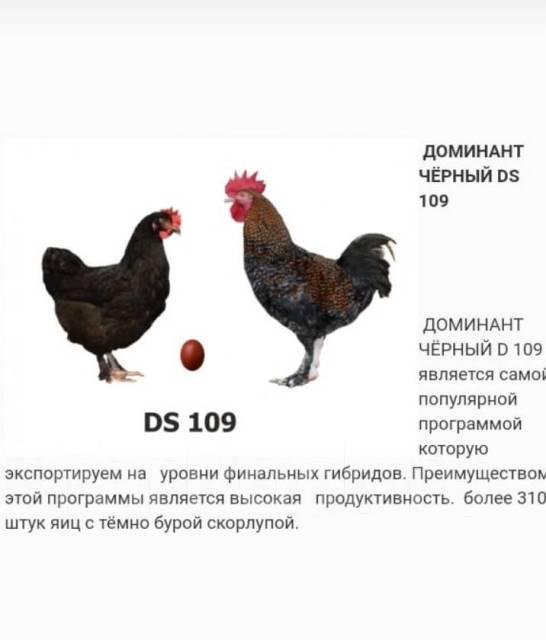 Доминант суссекс 104 - яичный кросс кур. Описание, содержание и выращивание, кормление, инкубация