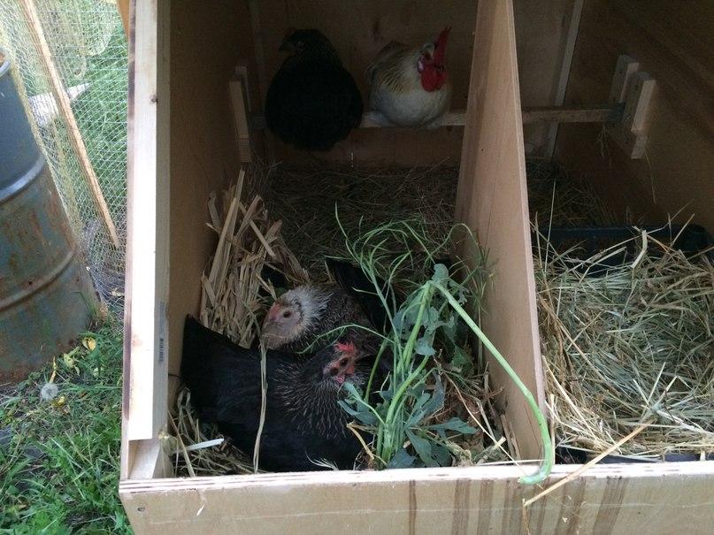 Способы отучить кур спать в гнездах