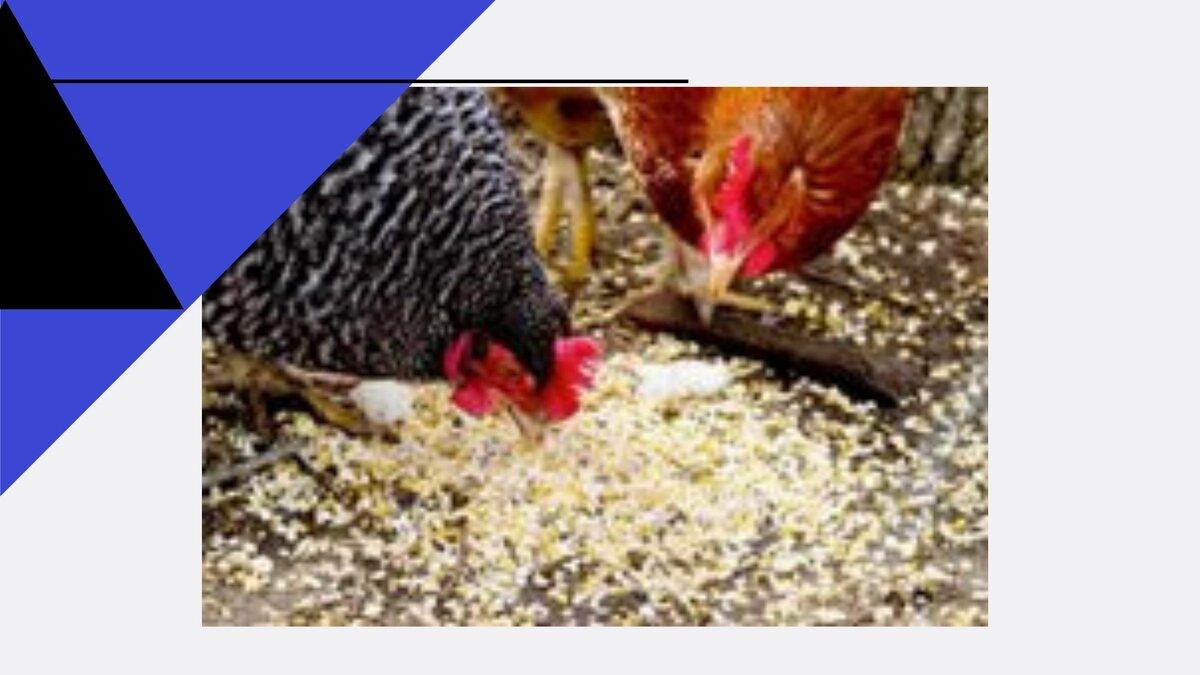 Ожирение у кур несушек – как определить и что делать?