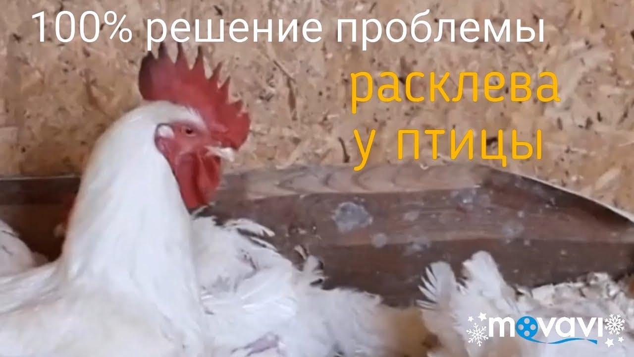 Причины расклева у цыплят белых пород кур