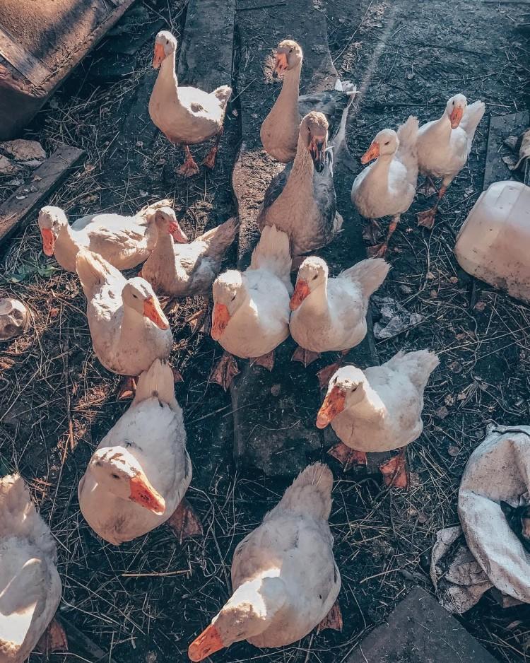 Болезни гусей