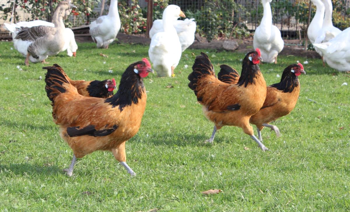 Форверк - мясо-яичная порода кур. Характеристики, описание, особенности выращивания и кормления