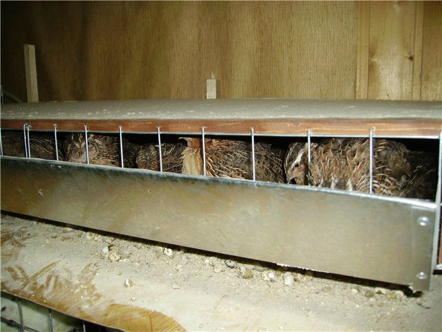 Советы по выращиванию перепелов на даче