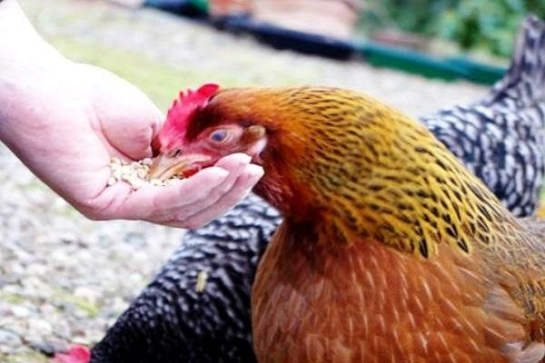 Расклев и поедание курами яиц: признаки, причины и способы борьбы с проблемой
