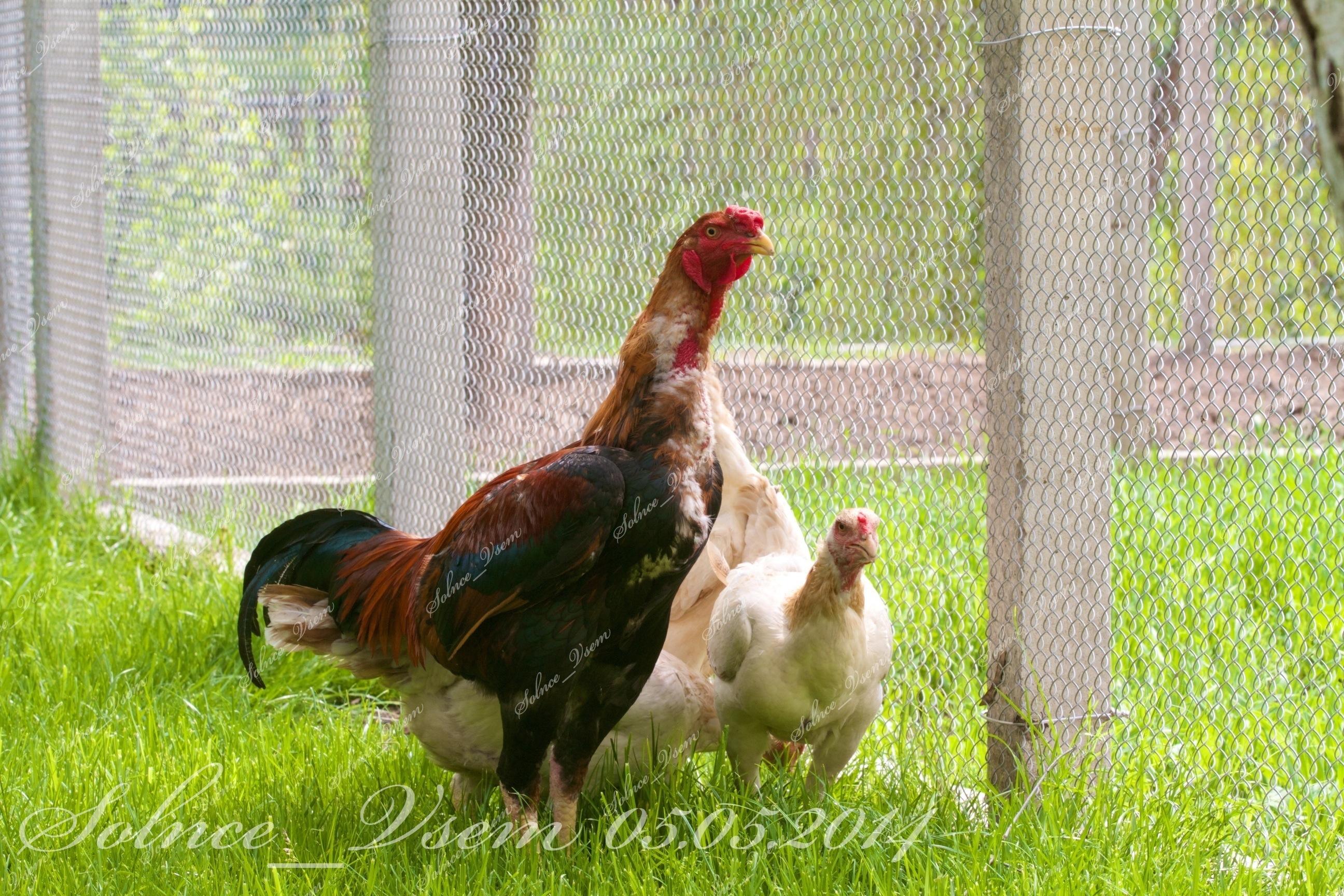 Малайская бойцовая порода кур. Характеристики, описание, содержание, кормление и инкубация