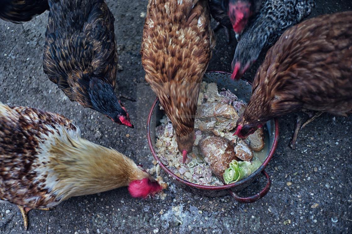 Кормление кур кухонными объедками