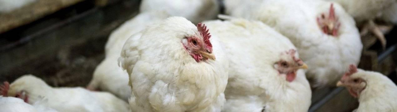 Запор у бройлеров и цыплят: что делать, если птица не может сходить в туалет? Лечение, рекомендации, профилактика
