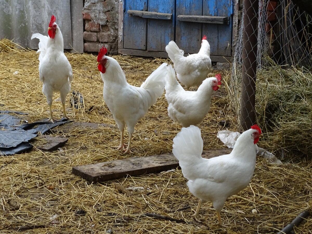 Русская Белая порода кур – описание, фото и видео