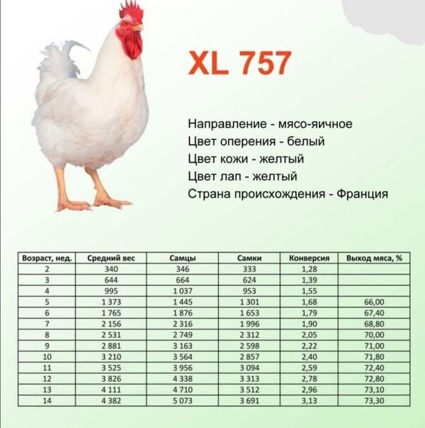 Куры и цыплята бройлеры: разведение, выращивание, содержание и уход в домашних условиях