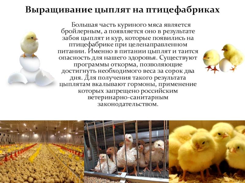 Цыплят петушков убивают на птицефабриках, почему так жестоко?