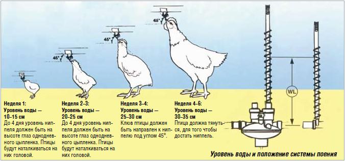 Все о поении кур: количество воды, температура, соотношение к корму