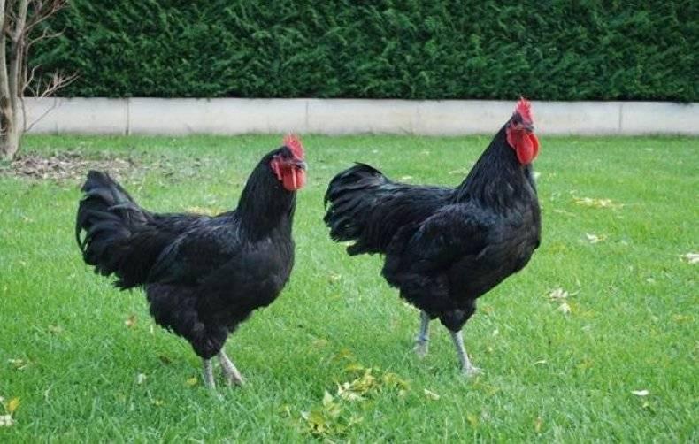 Шотландская Дампи порода кур – описание с фото и видео