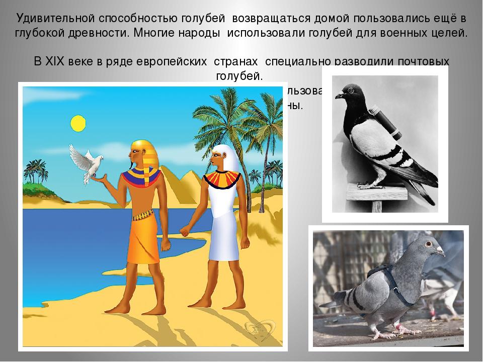 Почтовый голубь: как знает, куда лететь, история происхождения