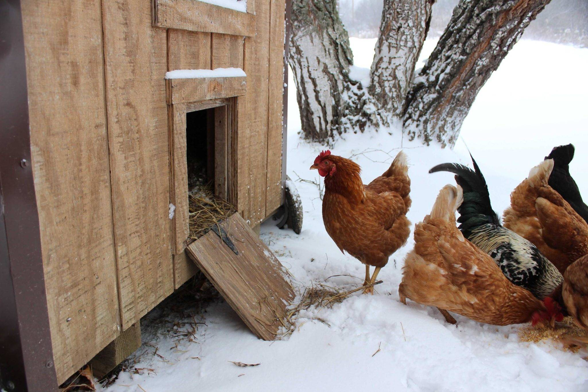 Как повлиять на яйценоскость кур зимой