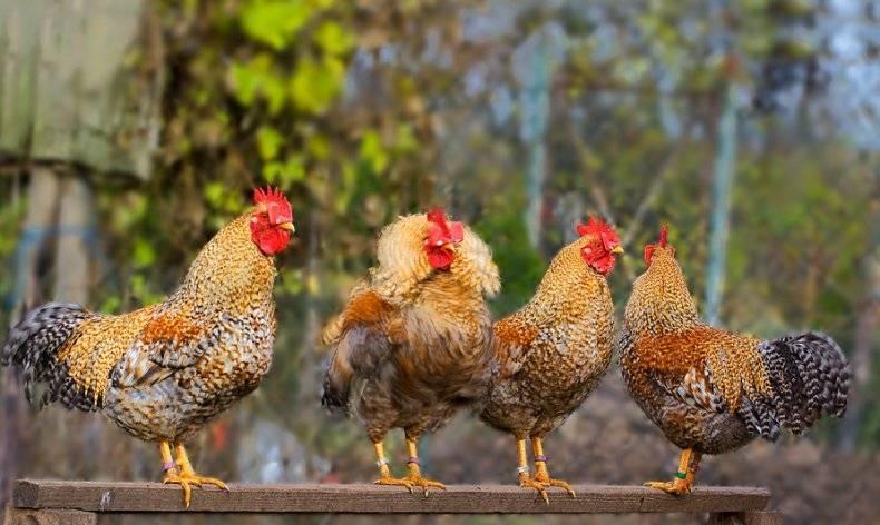 Карликовые породы кур: их содержание, кормление, инкубация и распространенные болезни