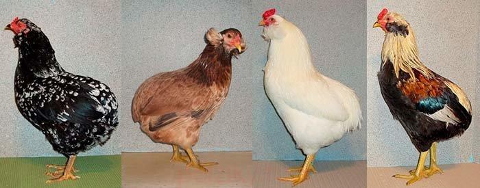 Куры Голубая аврора - яичный кросс. Описание, характеристики, содержание, выращивание и кормление