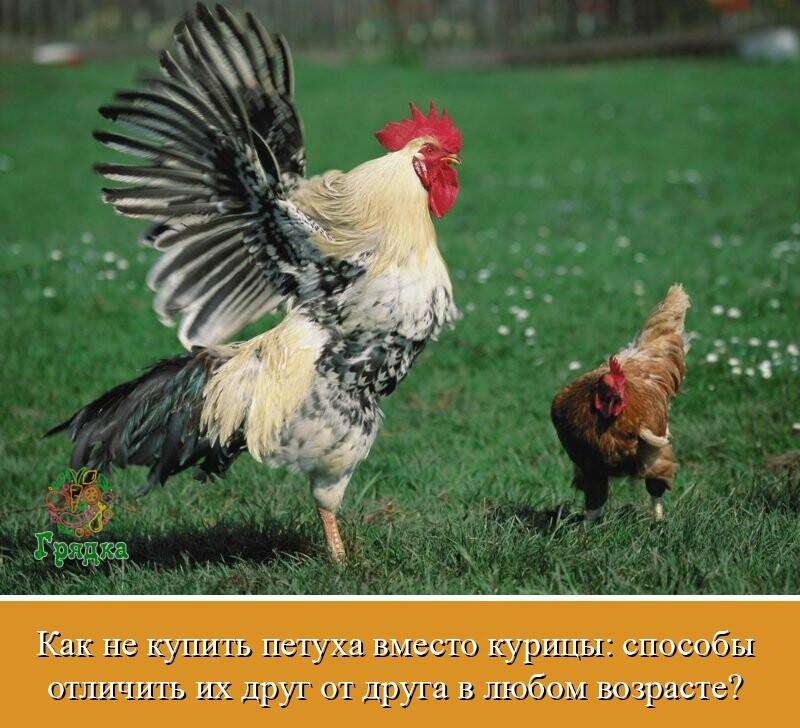 Как узнать возраст курицы?