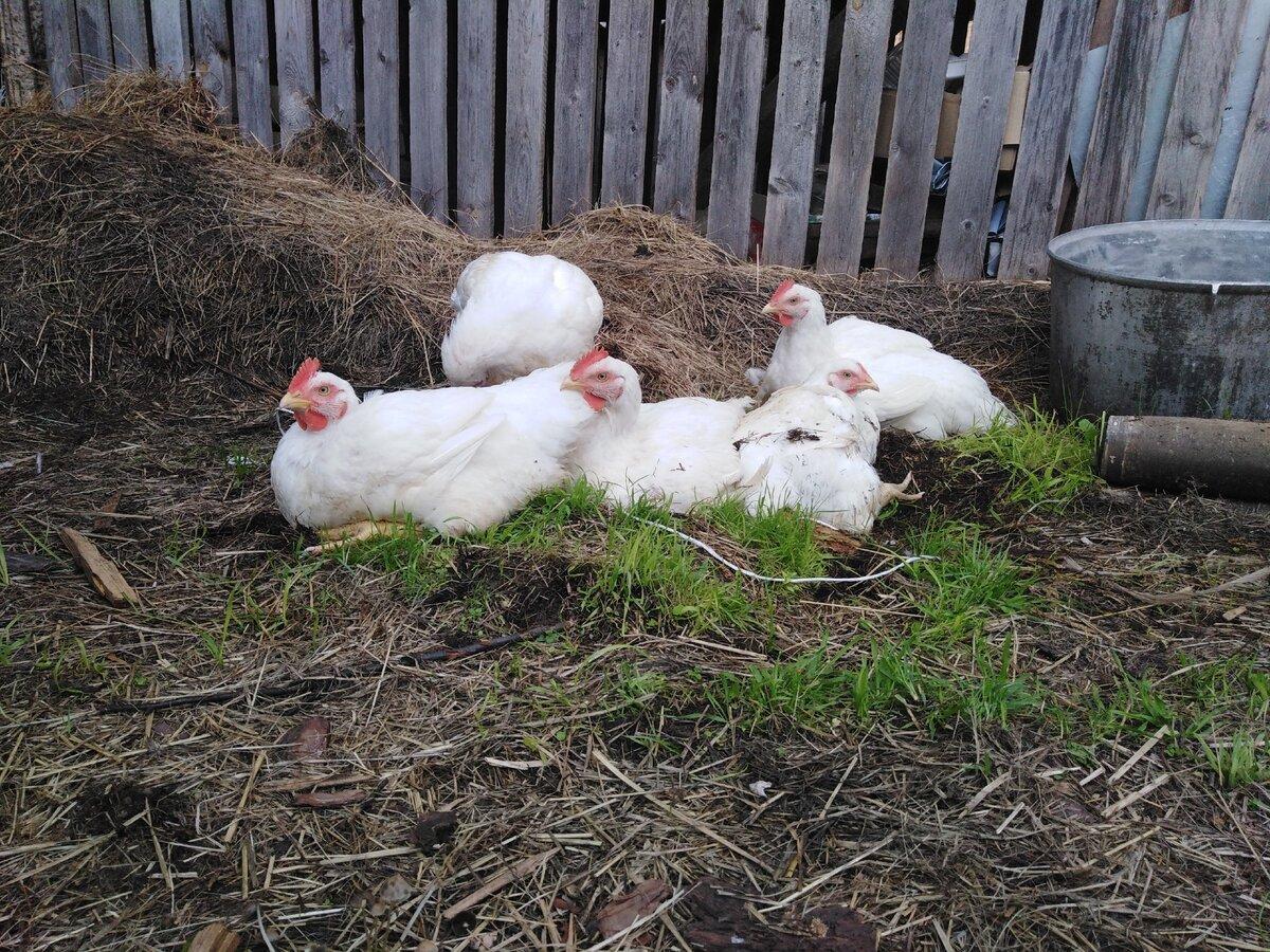 Как вырастить бройлерных цыплят без потерь?