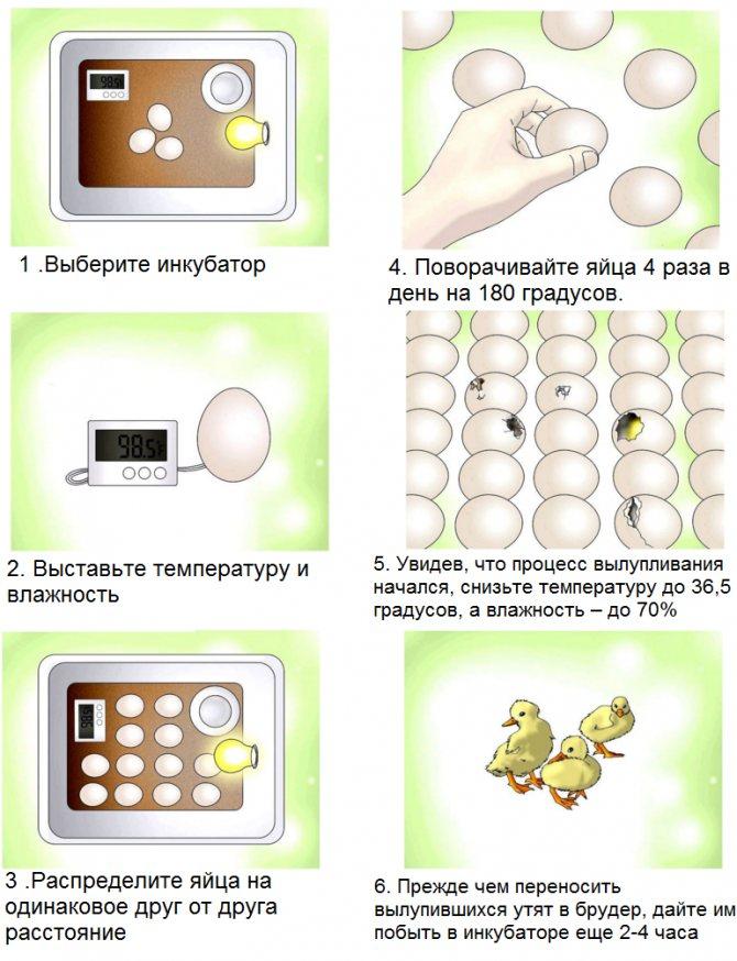 Какие яйца закладывать в инкубатор для хорошего выхода птицы и как это правильно сделать?