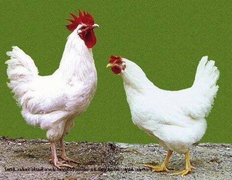 Мадьяр порода кур – описание, фото и видео