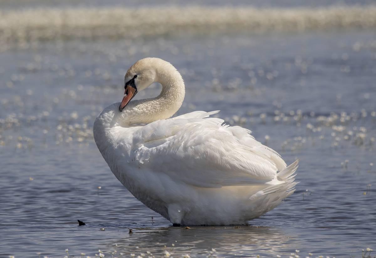 Грациозная птица лебедь шипун: интересные факты
