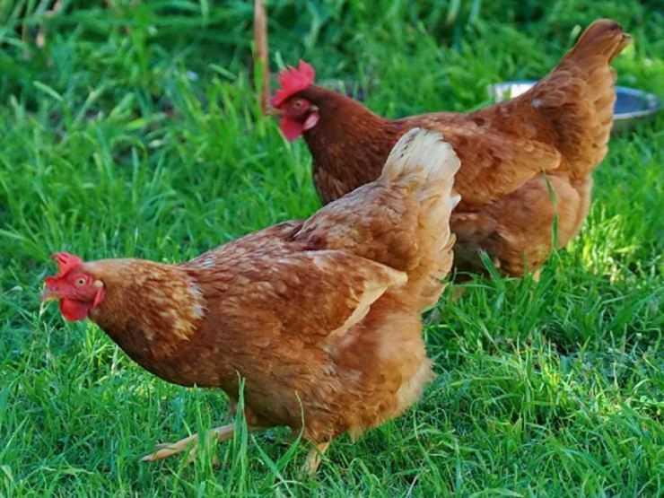 Холланд порода кур – описание с фото и видео