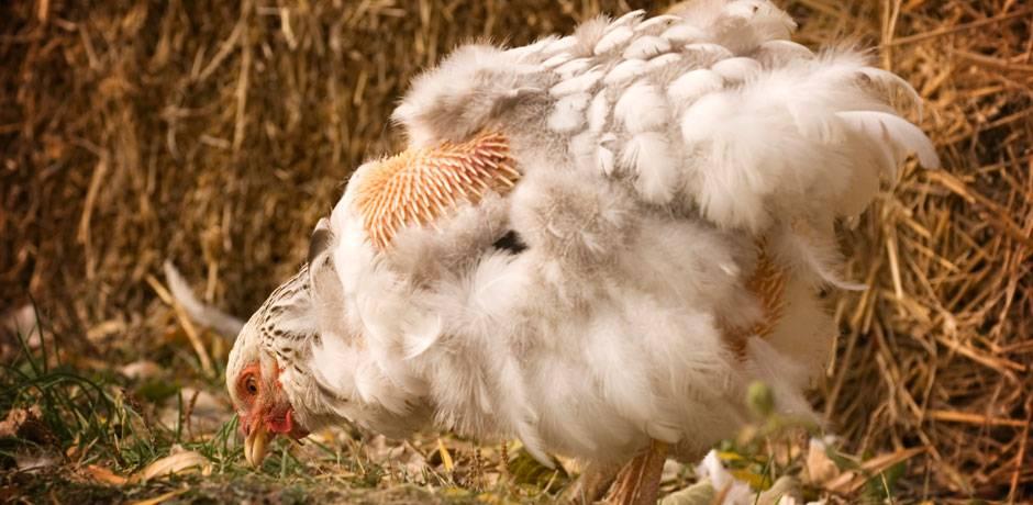 Голодание кур – что делать, если куры стали плохо есть?