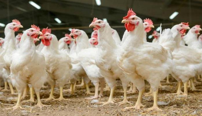 Иза Хаббард порода кур – описание ф 15, фото и видео