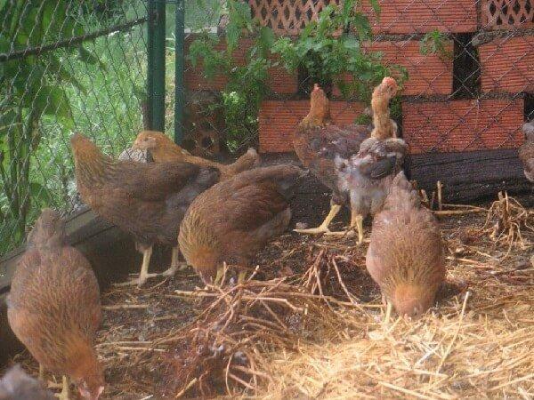 Эмпорданесса порода кур – описание с фото и видео