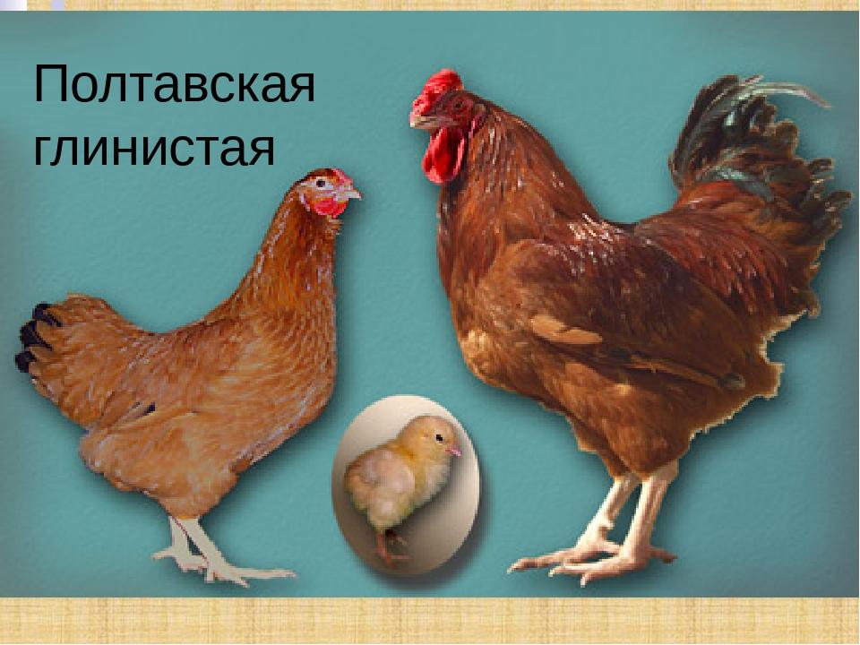 Полтавские куры глинистые фото и описание, отзывы