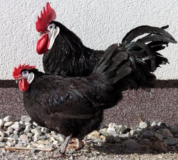 Испанская белолицая - яичная порода кур. Описание, характеристика, разведение, выращивание и инкубация