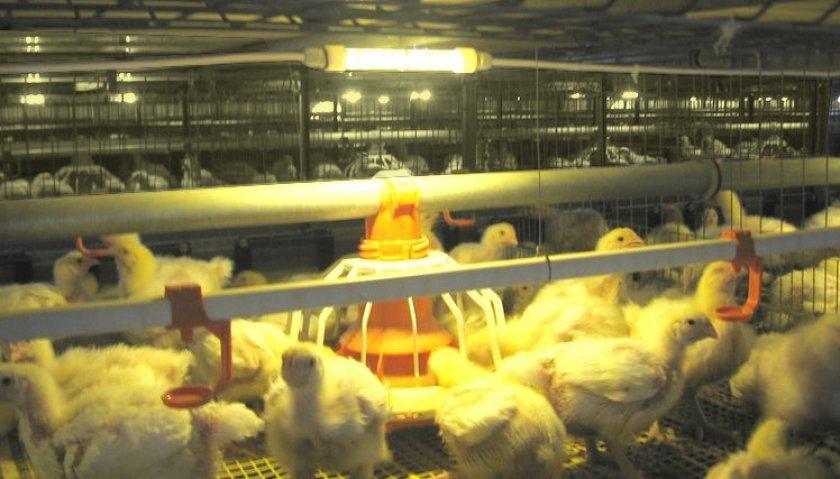 Выращивание бройлеров на птицефабрике – содержание и кормление