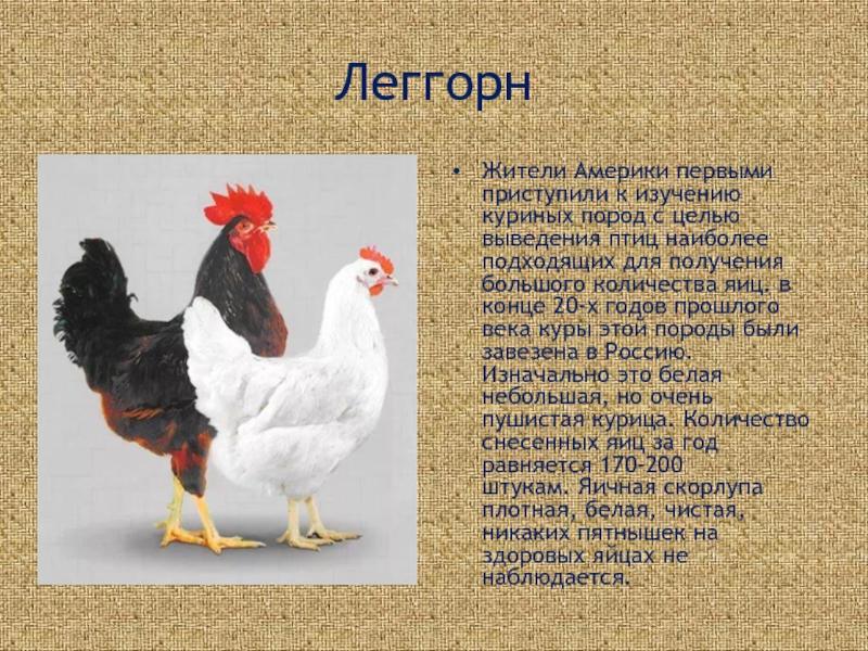Рамельслоэр - мясо-яичная порода кур. Описание, характеристика, особенности выращивания и ухода