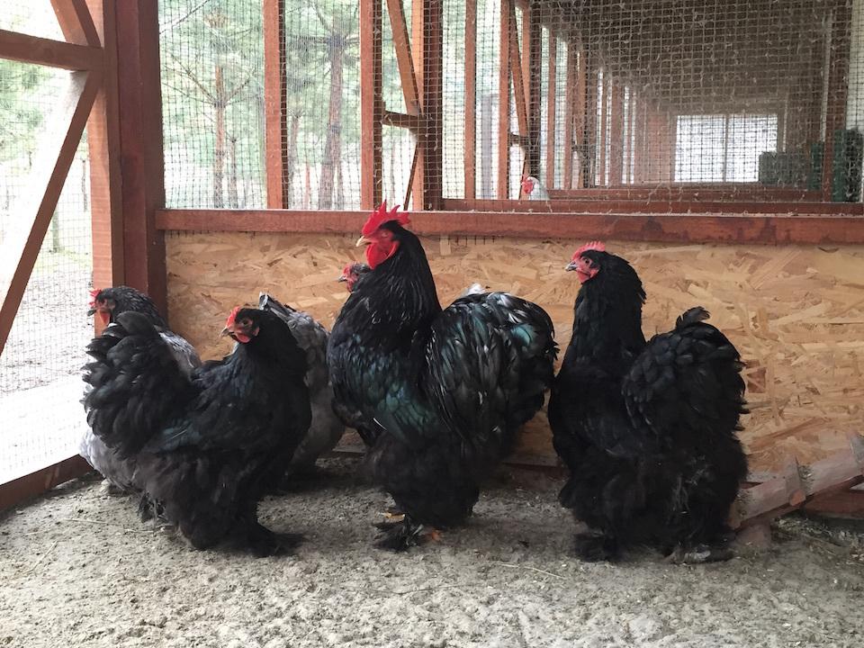 Кохинхин карликовый порода кур – описание, фото и видео