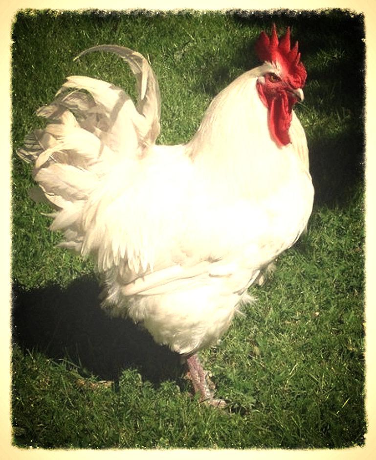Бресс Гальская порода кур – описание, фото и видео