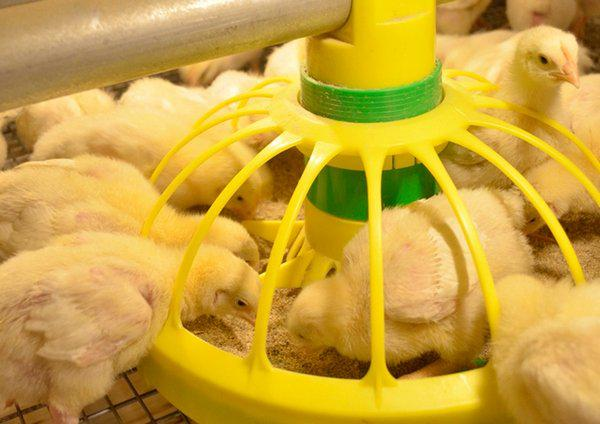 Основы выращивания и разведения бройлерных цыплят