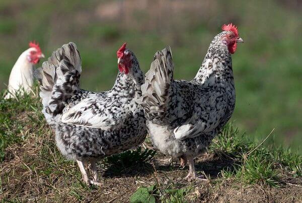 Русские породы и кроссы кур: Топ-5, их характеристики, содержание, кормление и уход