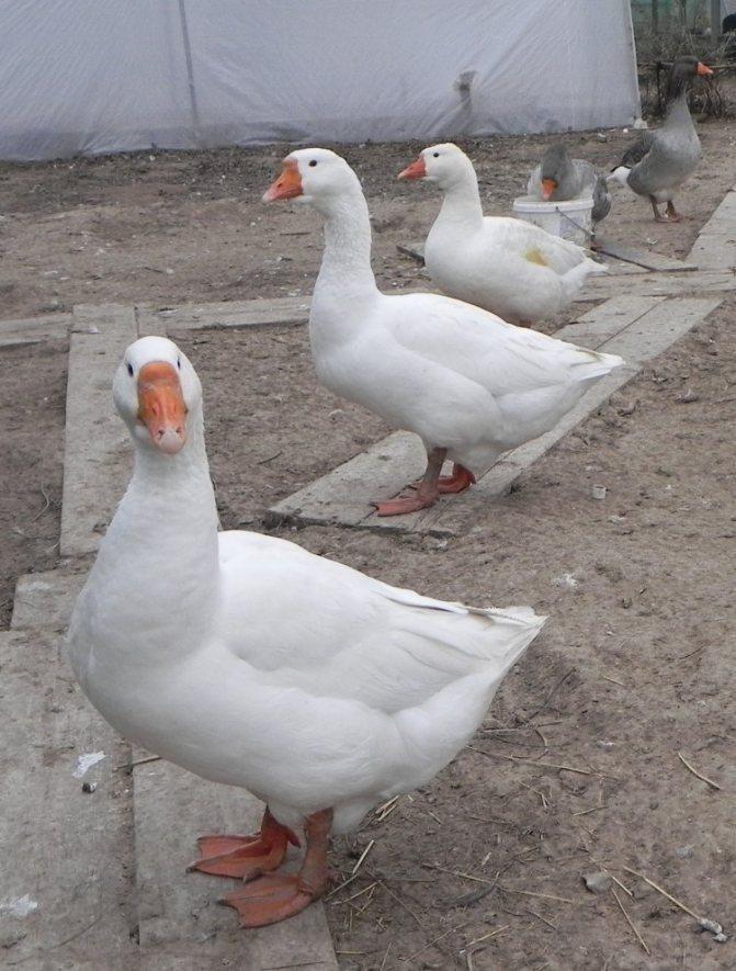 Порода гусей линда