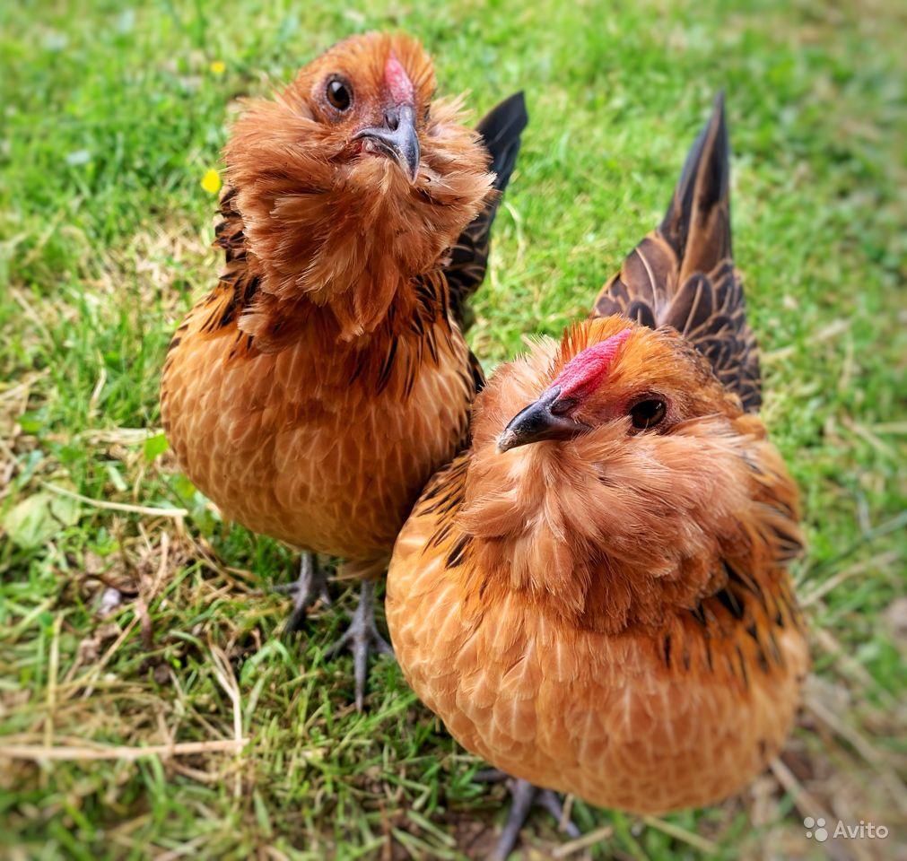 Антверпенская карликовая бородатая - декоративная порода кур. Описание, характеристика, содержание и уход