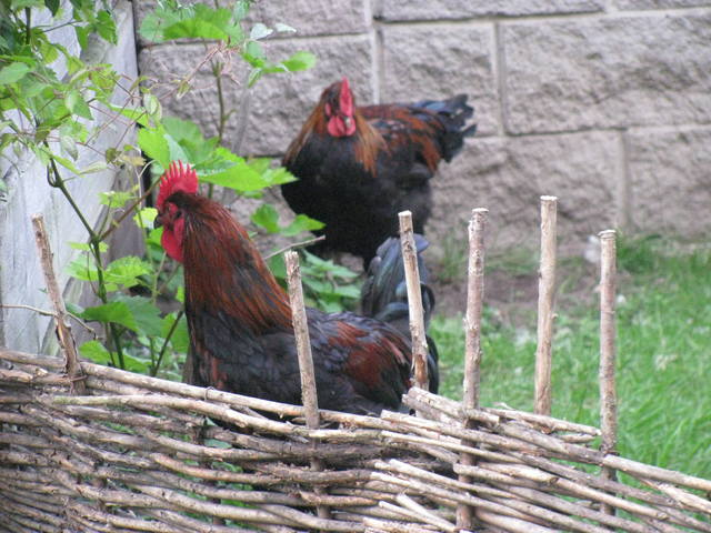 Маран порода кур – описание, фото и видео