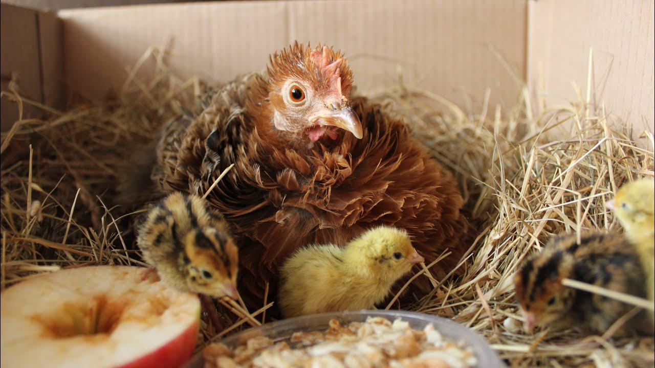 Курица вывела цыплят: что делать дальше, чем кормить птенцов, как за ними ухаживать, когда отсаживать наседку?