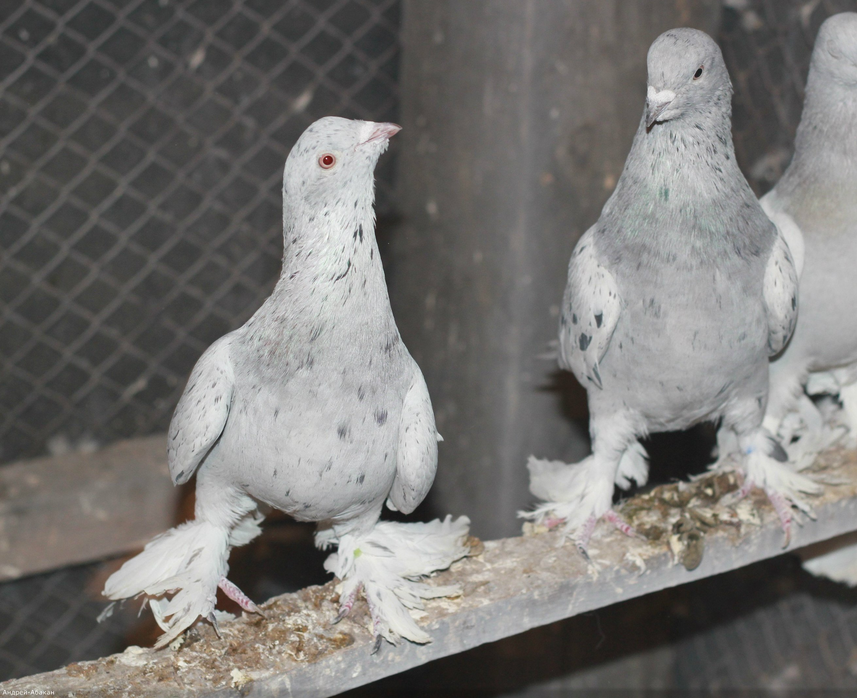 Супер летные иранские бойные голуби