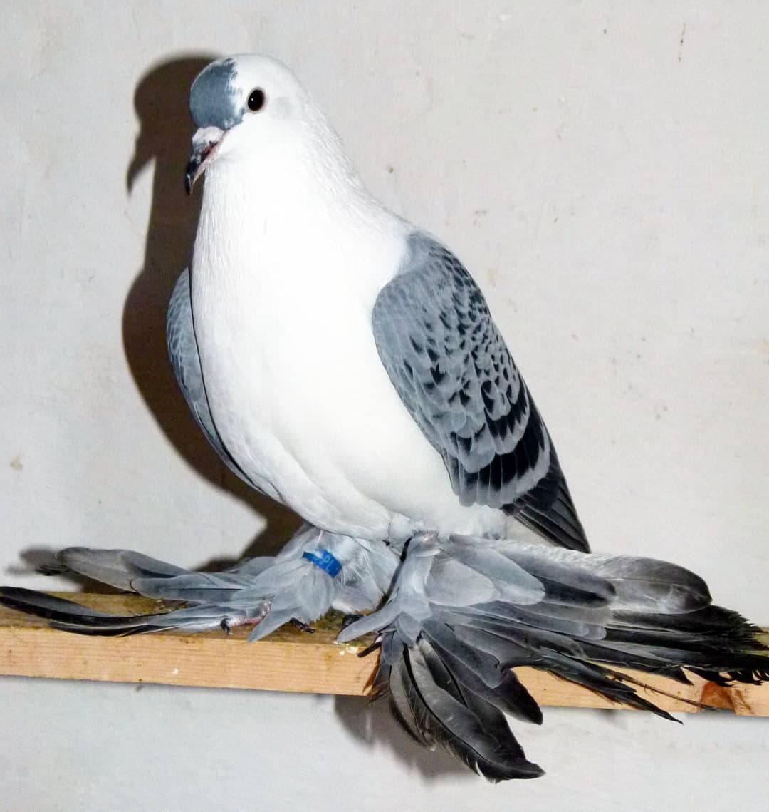 Русские породы голубей: происхождение, характерные особенности